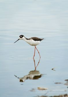 What's the Weather Like Up There?  Black-necked Stilt (Himantopus mexicanus)  | Show Me Nature Photography