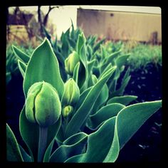 tulips at our community garden plot.
