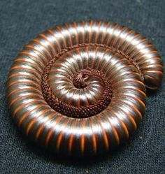 Habits and Traits of Millipedes, Class Diplopoda: Millipedes often coil up when…