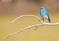 Risultati immagini per uccelli azzurri