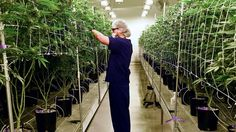 It pays to be a scientist in the marijuana industry