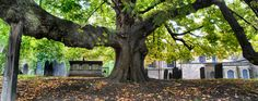 Old Tree, St Mary de Castro Church, Leicester Leicester, Saints, Old Things, Survival, England, Mary, Trees, Tree Structure, English