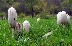 Shaggy Mane (Coprinus Comatus) in The Pacific Northwest Edible Mushrooms, Wild Mushrooms, Stuffed Mushrooms, Mushroom Pictures, Mushroom Fungi, Shaggy, Pacific Northwest, Garden Sculpture, British Columbia