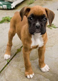 Boxer puppy: