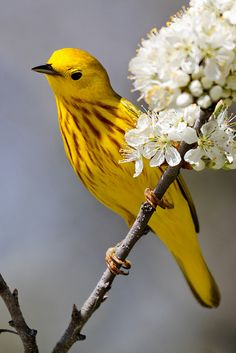Yellow Warbler, it looks like he's on a cherry tree, so harmonious nature. Bravo to the photographer, does he know he picked the colors of the Pope. white and yellow?