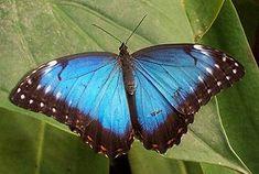 Tropical butterfly - Blauer Morphofalter