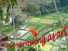 Rice, to the Balinese, is more than just the staple food; it is an integral part of the Balinese culture. The rituals of the cycle of planting, maintaining, irrigating, and harvesting rice enrich the cultural life of Bali beyond a single staple can ever hope to do