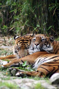 Tigers, Big cats - via Tumblr