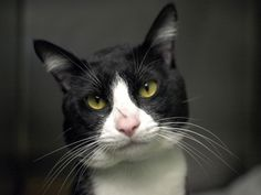 """COPPER - A1039159 - - Brooklyn  ***TO BE DESTROYED 06/16/15***TERRIFIC BEGINNER TUX NEEDS YOU-BE COPPER'S RESCUE ANGEL! A person might think the ACC would hesitate to kill a highly adoptable one year old beginner rated cat like Copper but a person would be wrong. The ACC have no hesitation about killing this kitty, despite everything about him that screams """"great family pet."""" Copper is young, sociable, and friendly. He enjoys great health and has a super perso"""