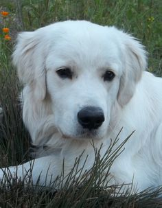 English Cream Golden Retriever ** Click image to review more details and tips about pet dogs.