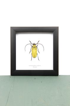 Celosterna pollinosa sulphurea in lijst Butterflies, Insects, Frame, Nature, Home Decor, Picture Frame, Naturaleza, Decoration Home, Room Decor