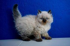23 Best Ragdoll Kittens For Sale Images Kitten For Sale
