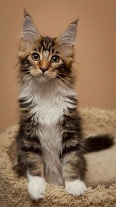 Top 5 Friendliest Cat Breeds - I think this is a Maine Coon. I had a Maine Coon growing up called Alfie ❤️ Pretty Cats, Beautiful Cats, Animals Beautiful, Cute Animals, Pretty Kitty, Beautiful Pictures, Chat Maine Coon, Maine Coon Kittens, Cute Kittens