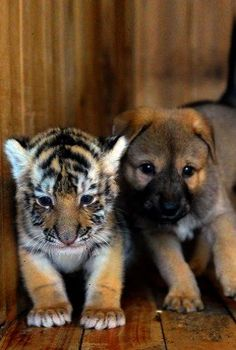 Baby Tiger and Puppy!