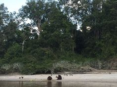 A couple of orangutan have a little 'date' on Kalimantan's shore, surrounded by their little ones.  Happy Valentine's day!  #dREAMSCAPE #LuxuryTravel #TravelAgent #TravelOperator #Luxury #Travel #Premium #Exclusive #Royal #Experience #Travelgram #InstaTravel #Wanderlust #Kalimantan #Borneo #Indonesia #Forest #RainForest #Orangutan #Valentine #Valentinesday #Cruise