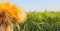 Kingdom to halt wheat production by 2016Agriculture - Curated by GreenWorld www.greenworldbvi.com