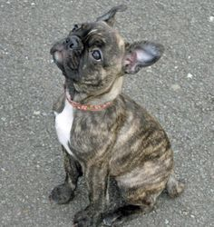 This looks almost just like my dog. the only difference is her ears flop over and her nose is longer..