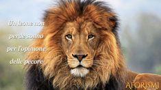Un leone non perde sonno per l'opinione delle pecore [A lion don't lose sleep over the opinion of sheep]