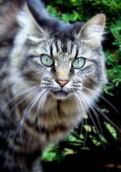 Maine Coone Cat in Providence;RI ****this kitty looks like my maine coon ZickeZacke Pretty Cats, Beautiful Cats, Animals Beautiful, Cute Animals, Kittens Cutest, Cats And Kittens, Ragdoll Kittens, Funny Kittens, Bengal Cats