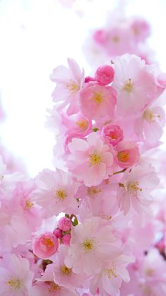 Pretty in Pink Flowers Nature, Pretty In Pink, Pink Flowers, Beautiful Flowers, Pretty Phone Wallpaper, Flower Wallpaper, Sakura Cherry Blossom, Blossom Trees, Spring Blossom