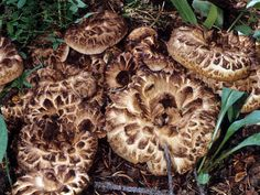 Scaly Tooth - Sarcodon imbricatus