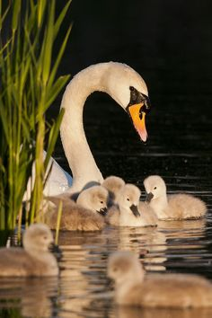 Swan with all her little babies, gently flowing along glistening lake, reflecting off the deep night sky