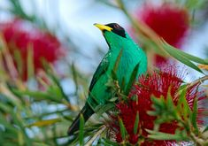 What is a honeycreeper...