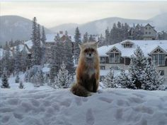 Fox in front of your vacation home!