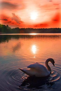 Swan at sunset in Hellersdorf, Berlin, Germany