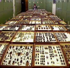 Entomologist studying beetle specimens at the Natural History Museum, London