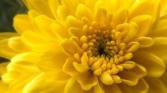 Crisantemo giallo #flowers #flowerpower #yellow #chrysanthemum #iloveflowers