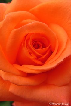 Orange Rose - Divinity Lane - Bring Me a Rose Flowers Gif, Beautiful Rose Flowers, Love Rose, Pretty Roses, Orange Lips, Orange Roses, Burnt Orange, Orange Twist, Orange Color