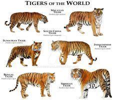 Art illustration of all Tiger (Panthera tigris) species available . Tiger Species, Animal Species, Especie Animal, Animal Facts, Siberian Tiger, Bengal Tiger, Tiger Tiger, Bengal Cats, Tiger Cubs
