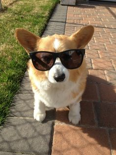 Trying out for a role in the Blues Brothers Corgi-version! Cute Corgi, Corgi Dog, Cute Puppies, Dogs And Puppies, Dog Cat, Baby Animals, Funny Animals, Cute Animals, The Blues Brothers