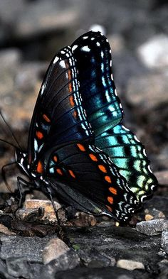Butterfly by offer gimpel Butterfly Kisses, Butterfly Flowers, Butterfly Wings, Blue Butterfly, Butterfly Images, Beautiful Bugs, Beautiful Butterflies, Beautiful Creatures, Animals Beautiful