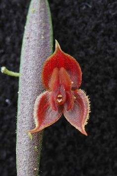 Lepanthes thoracica