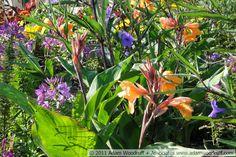 Canna 'Tangelo', Cleome 'Spirit Violeta', Ruellia brittoniana   by Adam Woodruff