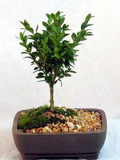 Japanese Boxwood Bonsai Tree - Buxus - Indoors/Out #Hirts:Bonsai