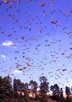 #Monarch #butterfly migration