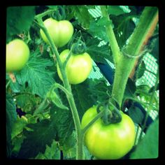 Tomatoes doing nicely - these are Cristal, an F1 hybrid (apparently)