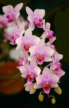 ORCHID - Love, Beauty, Refinement, Chinese Symbol for Many Children, Thoughtfulness
