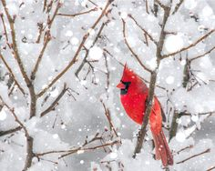 Winter Landscape Photography Holiday Red Cardinal by greenpix, $20.00