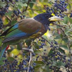 Great Barbet      Megalaima virens