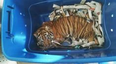Tiger Cub Found by Mexican Authorities After Mailing Attempt from Animal Traffickers