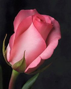 Rose ~ so beautiful! love the shape. Amazing Flowers, Beautiful Roses, My Flower, Flower Art, Beautiful Flowers, Simply Beautiful, Rosa Rose, Flower Pictures, Rose Buds