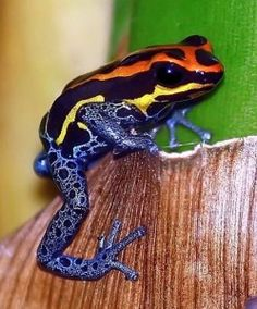Poison dart... bubble bottom frog