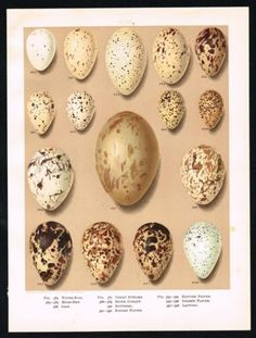 1894-BIRDS-EGGS-COOT-GREAT-BUSTARD-PLOVER-LAPWING-Antique-Lithograph-Print