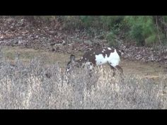 Rare Piebald/Calico Whitetail Deer Herd - YouTube