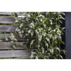 Image result for hardenbergia white out