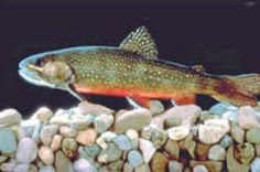 Virginia State Freshwater Fish - Brook Trout